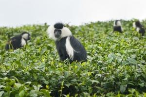 Colobus Affe auf einer Teeplantage