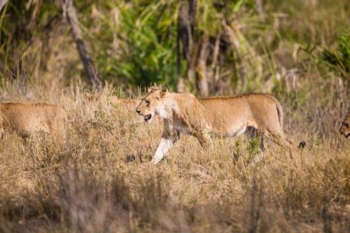 Löwen - Tansania Savanne