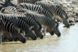 Zebras am Wasserloch - Namibia Safari