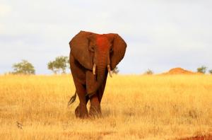 Kenia - Individualreisen - Elefant