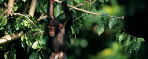 Ruanda - Reisen - Schimpansen Trekking