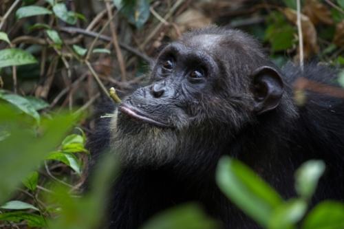 Schimpanse - Trekking in Tansania