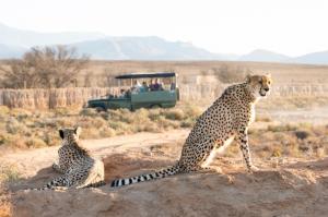 Südafrika Safari: Geparden beobachten