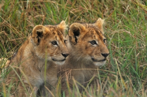 Tansania Safari - Löwen Kinder