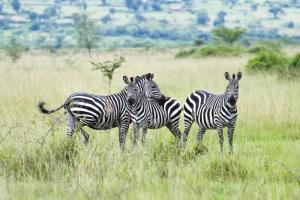 Zebras in Ruanda - Ruanda Safari Reise