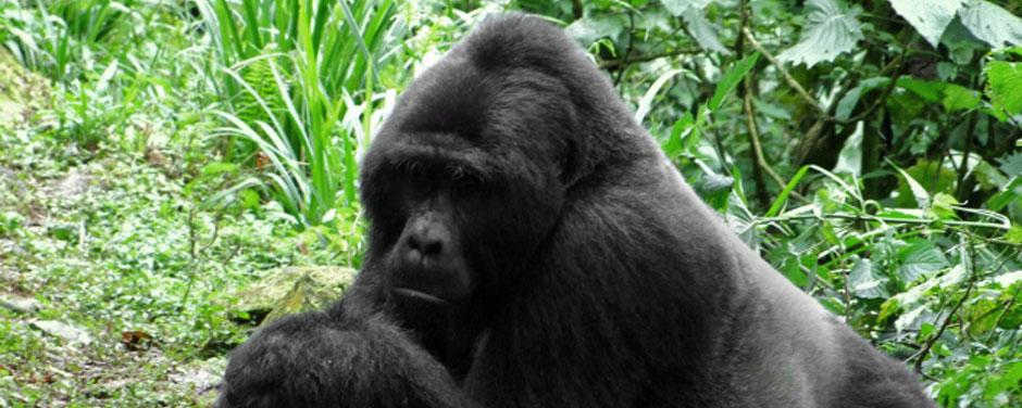 Ruanda - Reisen - Gorilla Trekking
