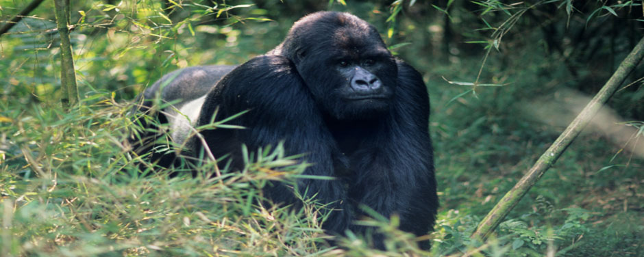 Berggorilla - Uganda - Reisen