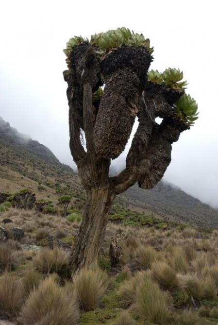 Baum - Mount Kenya Besteigung