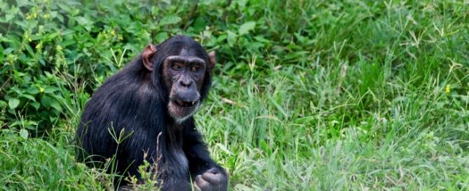 Schimpanse im Urwald - Uganda Trekking Reise