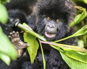Ruanda Reise mit Gorilla Trekking- Ruanda Reise zum Nyungwe Forest Nationalpark