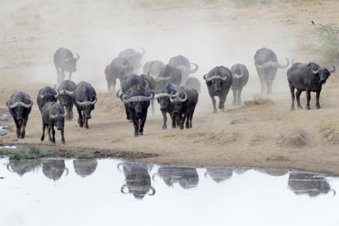 Büffel bei einer Safari: Serengeti Tansania