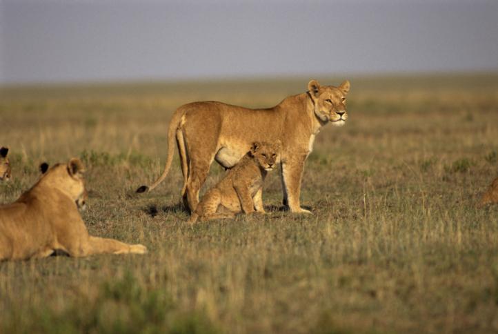Löwen: Safari in der Serengeti