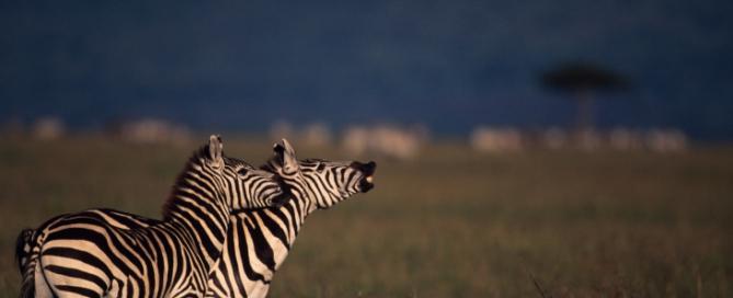 Ostafrika Reisen: Zebras in Kenia