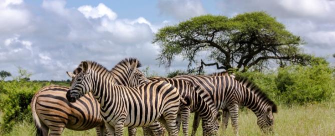 Zebra Herde, Afrika