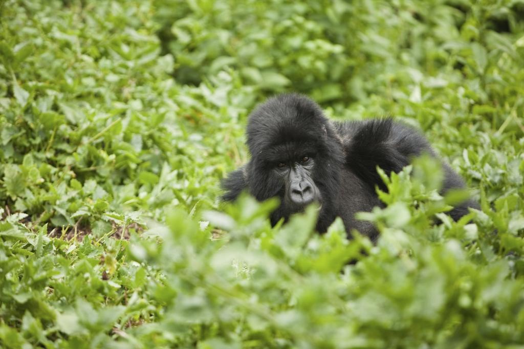 mit Touring Afrika Gorilla Tracking