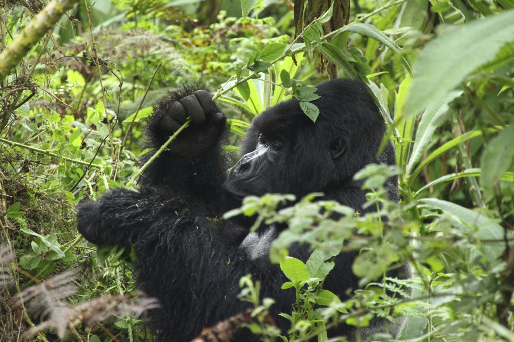 Virunga Nationalpark Ruanda-Reisebericht
