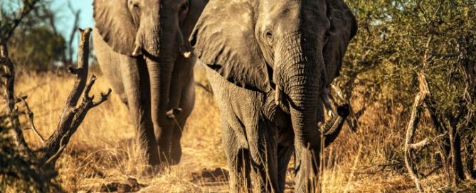Elefantenbullen - Simbabwe Safari-Tipp