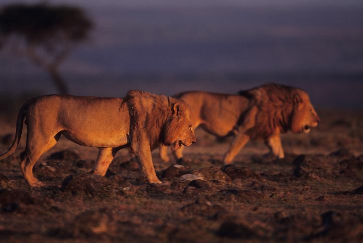 Löwen in Kenia, nachts