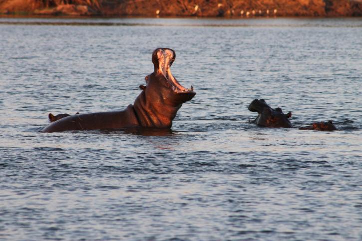 Nilpferde: Okavango-Delta, Botswana