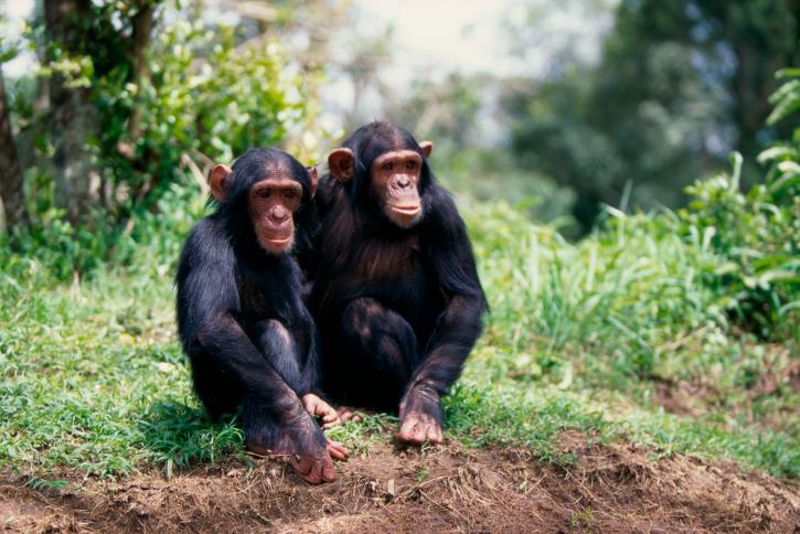 Schimpansen Tracking Ruanda