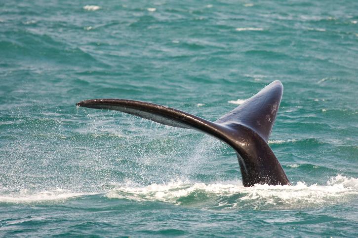 Whale Watching Südafrika - Insidertipps