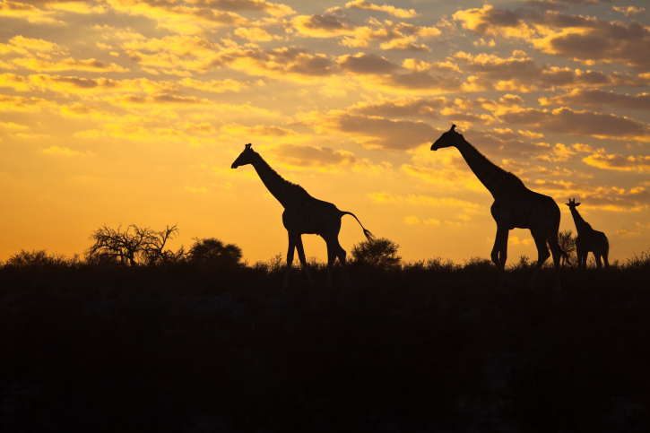 Mietwagenrundreise - Giraffen Sonnenaufgang
