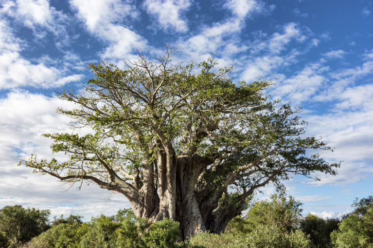 Der größte Affenbrotbaum der Welt steht im südafrikanischen Lompopo.