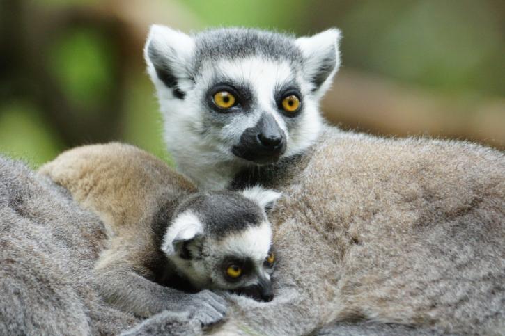 Lemuren beobachten auf Madagaskar Reisen