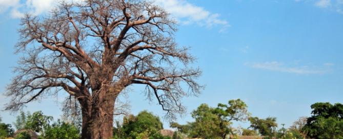 Affenbrotbaum - Malawi Safari