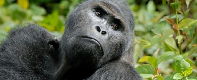 Silberrücken Gorilla, Kongo