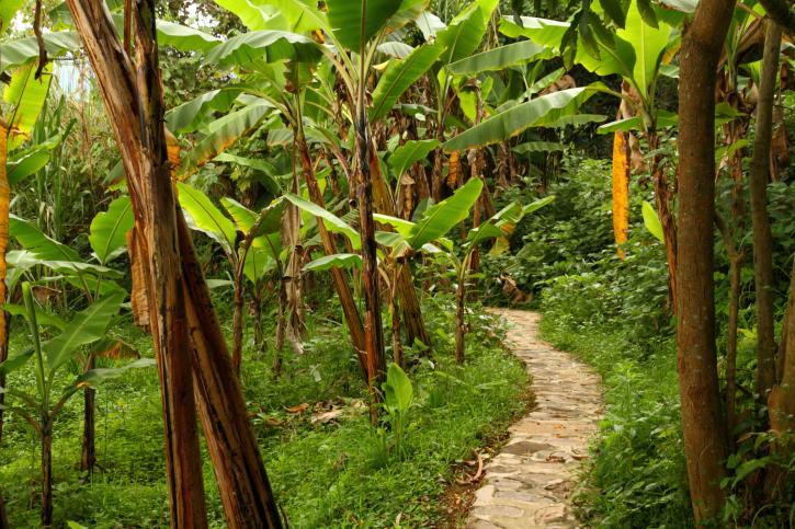 Bananenplantage - Ugandas grüne Hügel