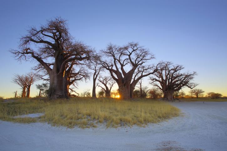 Baobabs in der Kalahari, Botswana