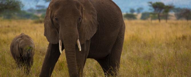 Elefant in der Serengeti - Tansania Safari