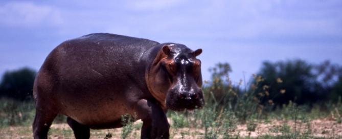Hippo am Rufiji River, Tansania