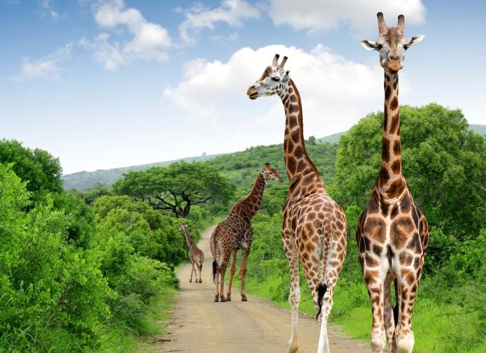Giraffen auf einer Straße im Krüger-Nationalpark in Südafrika