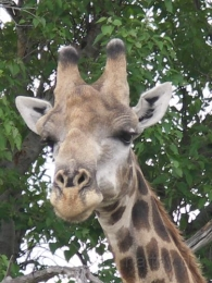 Botswana - Reisebericht - Safari