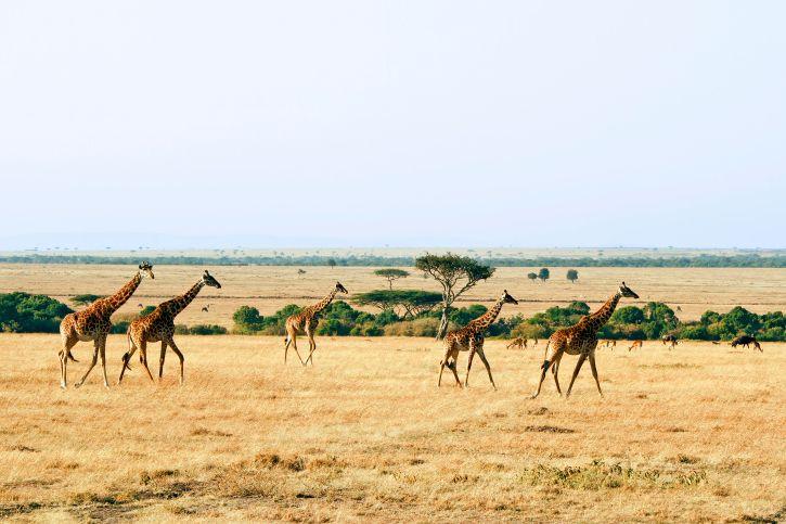 Die grazilen Giraffen begeistern auch Kinder auf Kenia-Safari