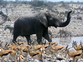 Elefant - Antilopen - Namibia