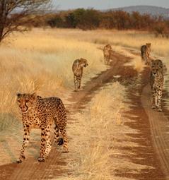Namibia - Reise - Cheetah's