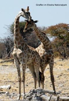 Namibia - Reisebericht - Giraffen