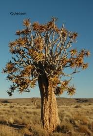 Namibia - Reisen - Köcherbaumwald
