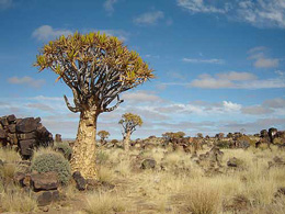 Namibia - Reisebericht - Köcherbaum