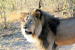 Namibia - Reisebericht - Löwe