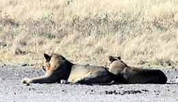 Namibia - Reisen - Löwen