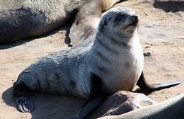 Namibia - Reisebericht - Robben