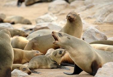 Namibia - Reisen - Robben