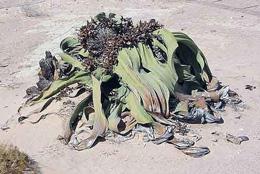 Namibia - Reisen - Wüstenpflanze
