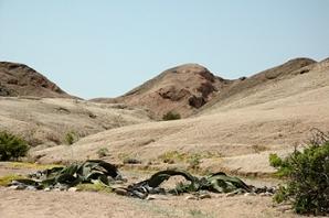 Namibia - Natur - Welwitschia