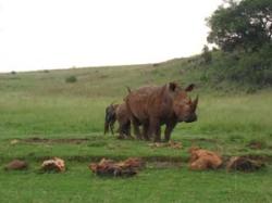 Südafrika - Reisebericht - Nashörner