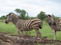 Krüger Nationalpark - Südafrika - Reisen